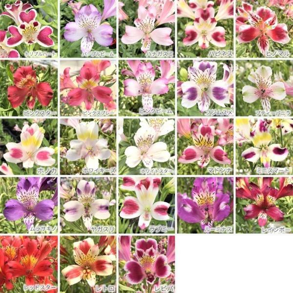 予約販売4月以降発送 選べるアルストロメリア苗Part1 宿根草 10.5cmポット|flower-net|06