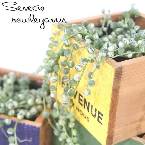 斑入りのグリーンネックレス(多肉植物 室内観葉 9cmポット)|flower-net