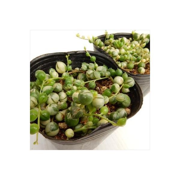 斑入りのグリーンネックレス(多肉植物 室内観葉 9cmポット)|flower-net|03