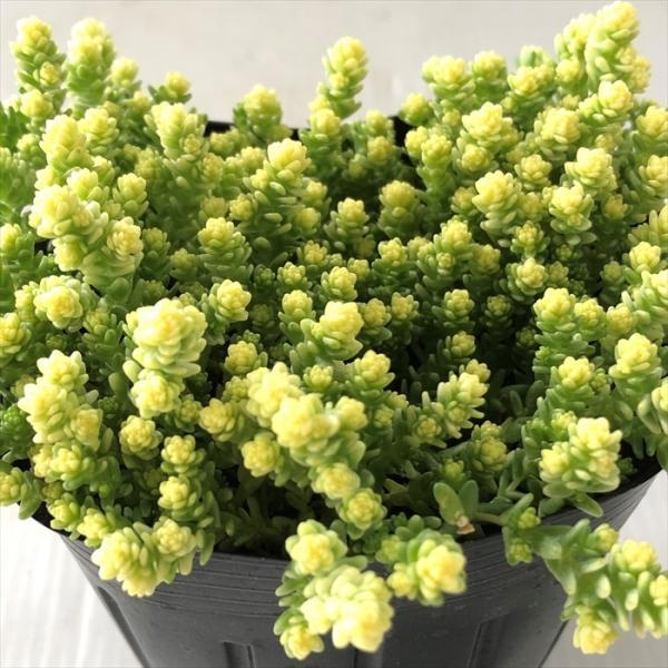 多肉植物 seセダム アクレ アウレウム エレガンス(多肉植物・9cmポット)