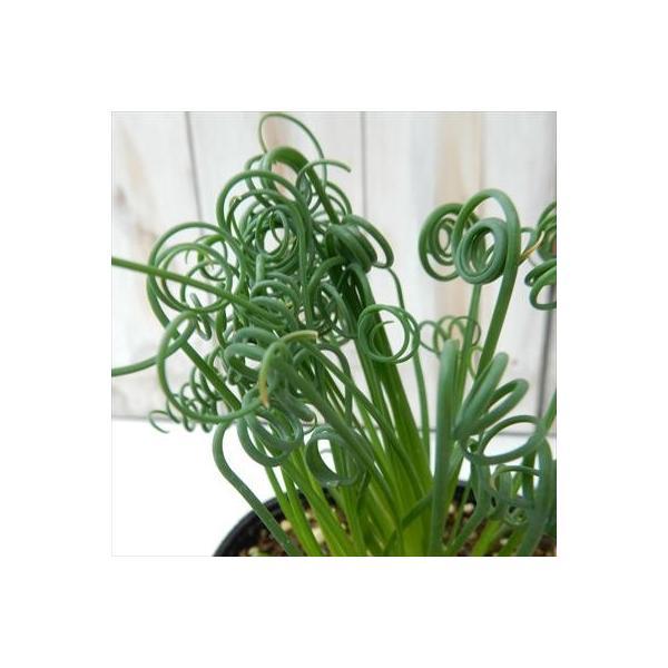 アルブカ スピラリス フリズルシズル(多肉植物 10.5cmポット)|flower-net