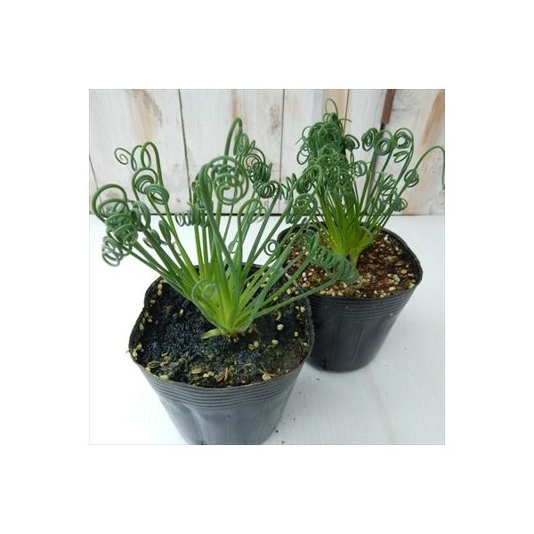 アルブカ スピラリス フリズルシズル(多肉植物 10.5cmポット)|flower-net|02
