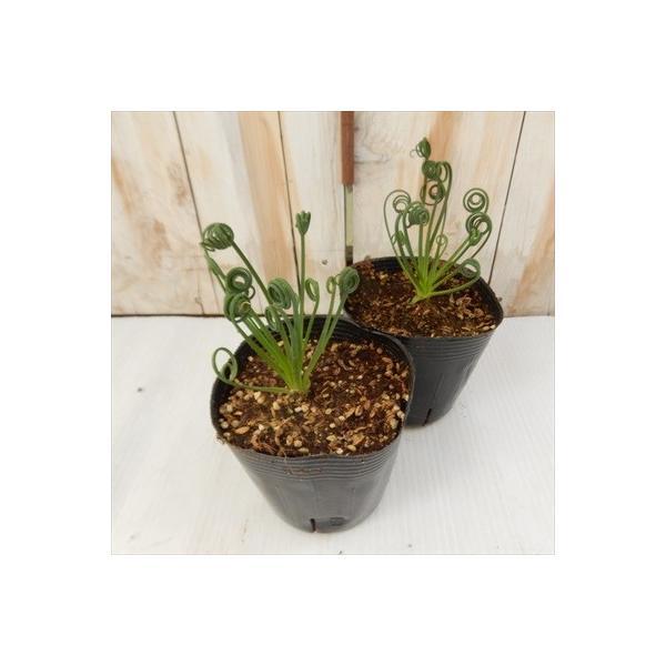 アルブカ スピラリス フリズルシズル(多肉植物 10.5cmポット)|flower-net|05