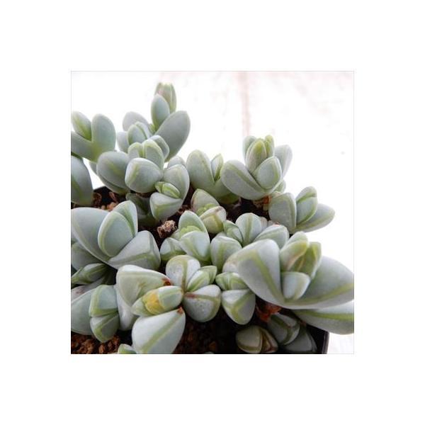 swkエキヌス 碧魚連(ヘキギョレン 多肉植物 7.5cmポット)|flower-net