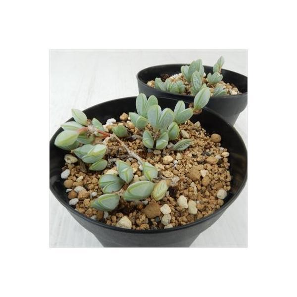 swkエキヌス 碧魚連(ヘキギョレン 多肉植物 7.5cmポット)|flower-net|04