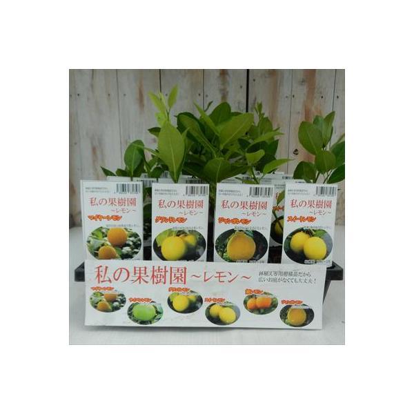 選べるレモン 鉢植え 柑橘苗 9cm ポット レモンの木 果樹苗 レモン 苗木