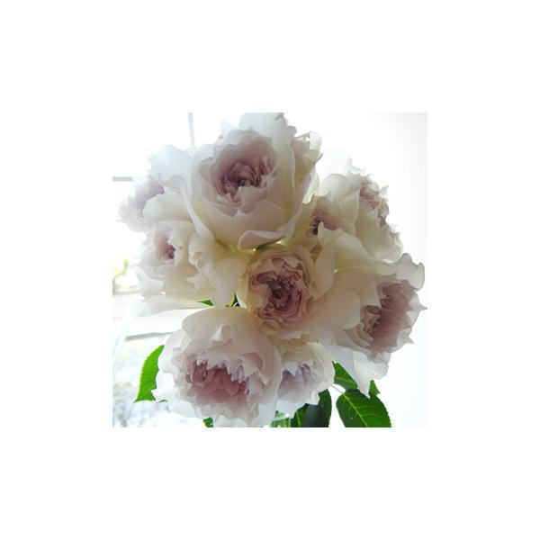 予約販売4月以降発送 バラ新苗 河本バラ園 ガブリエル|flower-net