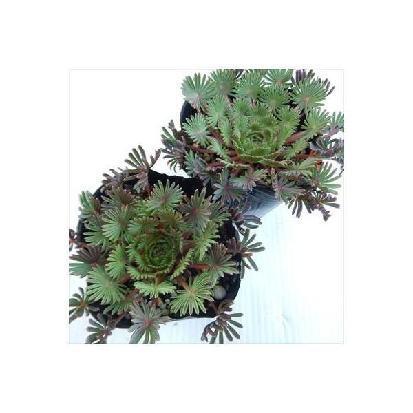 オキザリス 孔雀の舞 クジャクノマイ(オキザリス・パルマ 9cmポット)|flower-net|03