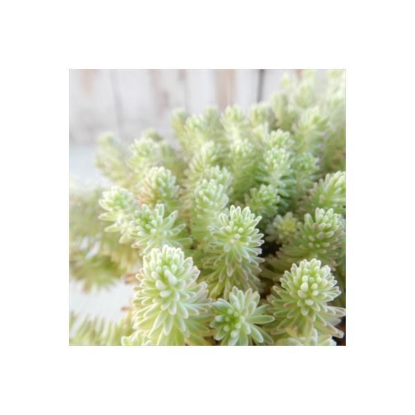 seセダム クリームソーダ 多肉植物 セダム 9cmポット|flower-net