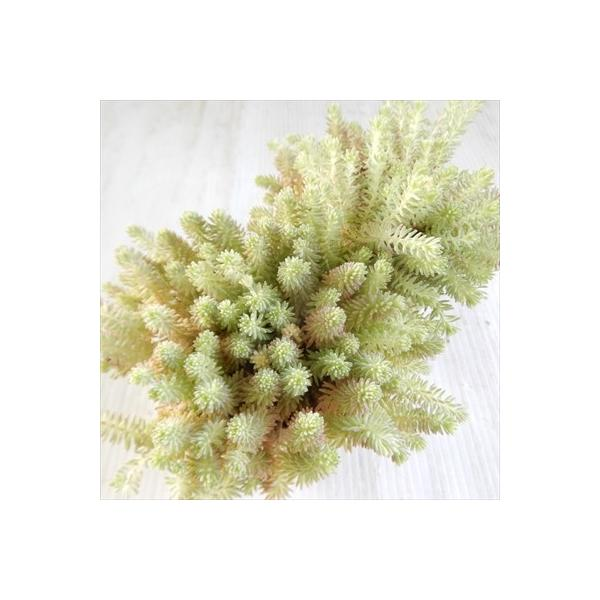 seセダム クリームソーダ 多肉植物 セダム 9cmポット|flower-net|03