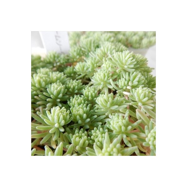 seセダム クリームソーダ 多肉植物 セダム 9cmポット|flower-net|04