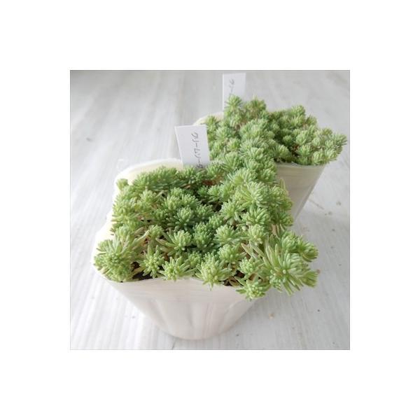 seセダム クリームソーダ 多肉植物 セダム 9cmポット|flower-net|05