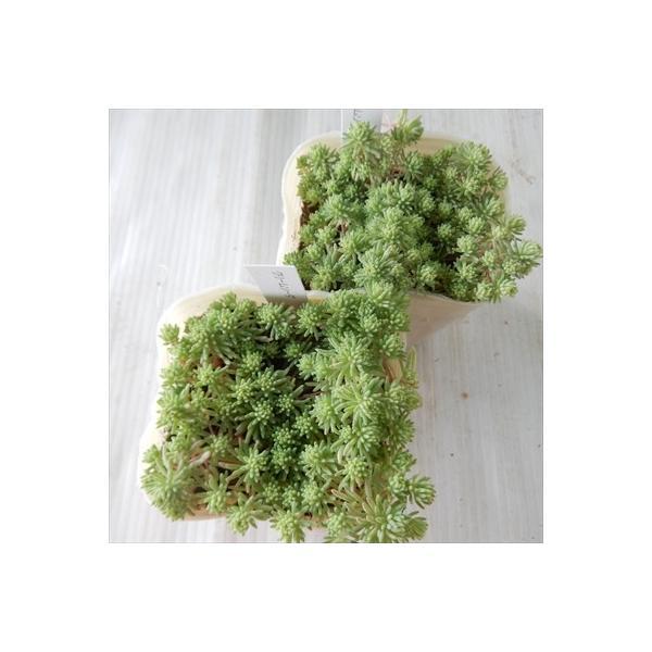 seセダム クリームソーダ 多肉植物 セダム 9cmポット|flower-net|06