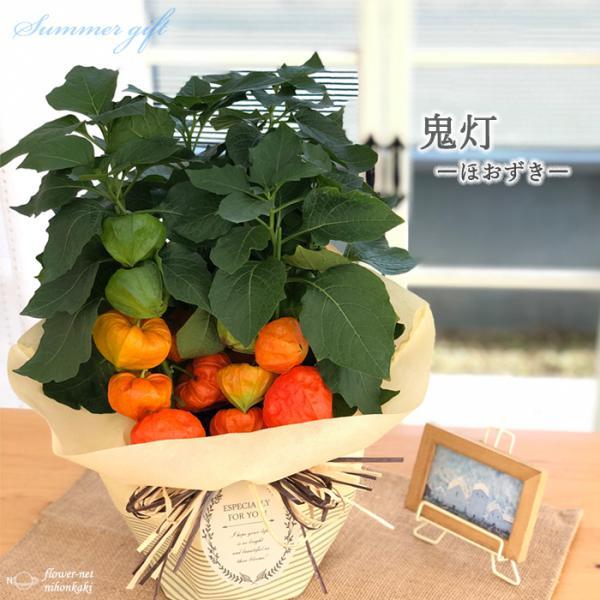 ほおずき 鉢植え 5号鉢 送料無料 ギフト 贈り物 プレゼント ホオズキ 鬼灯