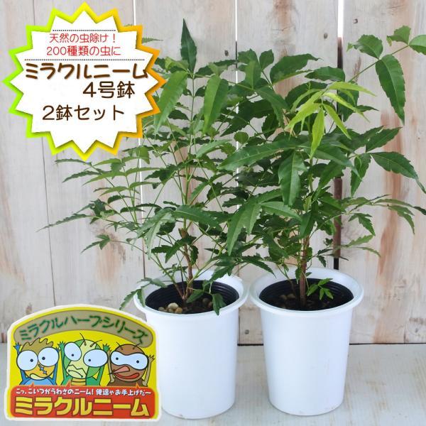 ニーム ミラクルニーム 2鉢セット 4号鉢 夏の虫よけ対策 ハーブ 天然植物性農薬