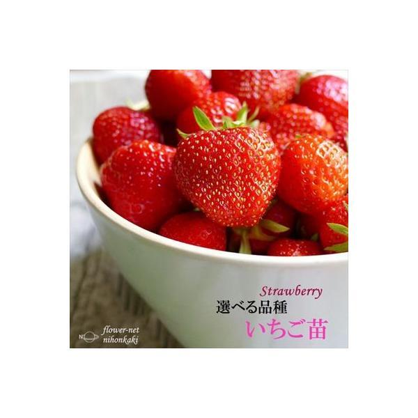 予約販売 選べるいちご苗 9cmポット イチゴ 苺 10月上旬以降発送