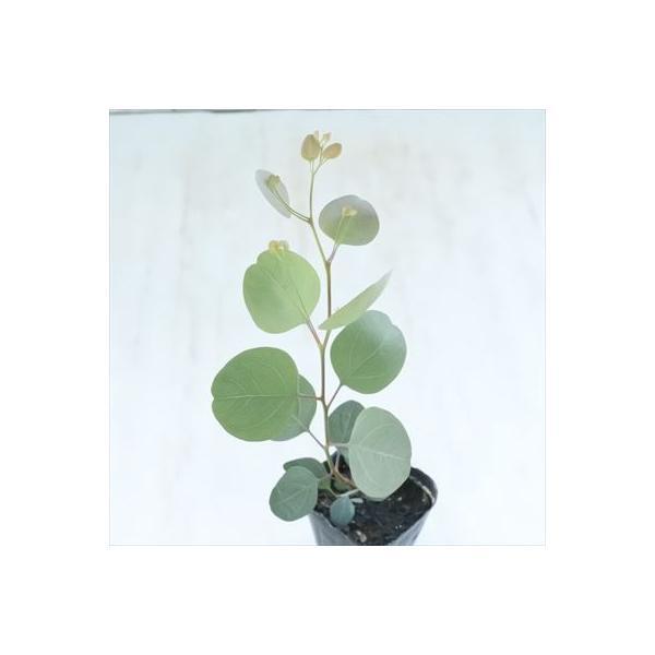 ユーカリ ポポラス 9cmポット ポプルネア 苗 観葉植物 ハーブ 常緑高木