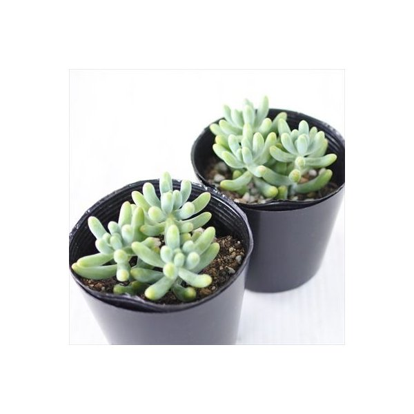 sbセダム 乙女心 多肉植物 セダム 7.5cmポット flower-net 02