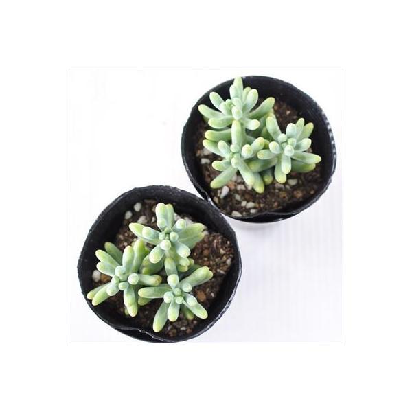 sbセダム 乙女心 多肉植物 セダム 7.5cmポット flower-net 03