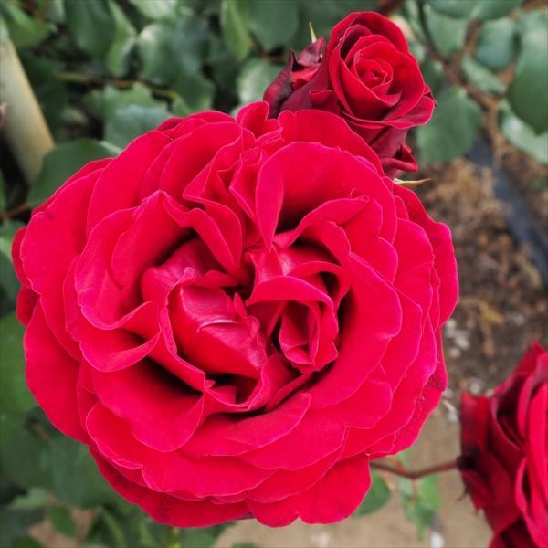 予約販売 バラ苗 バラ大苗 ドンファン つるバラ 四季咲き 薔薇 バラ troe 12月上旬以降発送