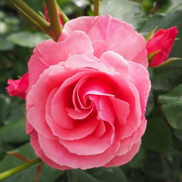 予約販売 バラ苗 バラ大苗 ラヴィーニア つるバラ 四季咲き 薔薇 バラ troe 12月上旬以降発送