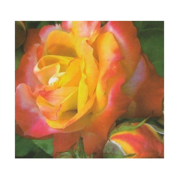 予約販売 バラ苗 バラ大苗 ふれ太鼓 つるバラ 四季咲き 薔薇 バラ troe 12月上旬以降発送