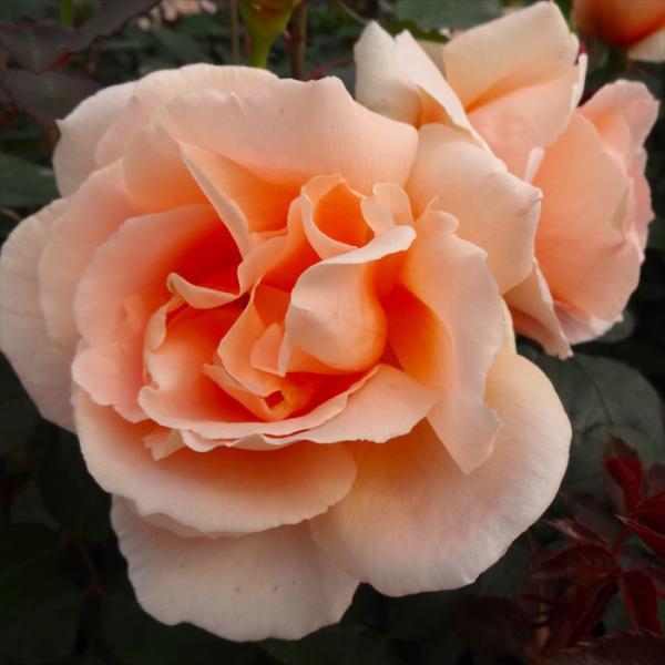 予約販売 バラ苗 バラ大苗 ロイヤルサンセット つるバラ 四季咲き 薔薇 バラ troe 12月上旬以降発送