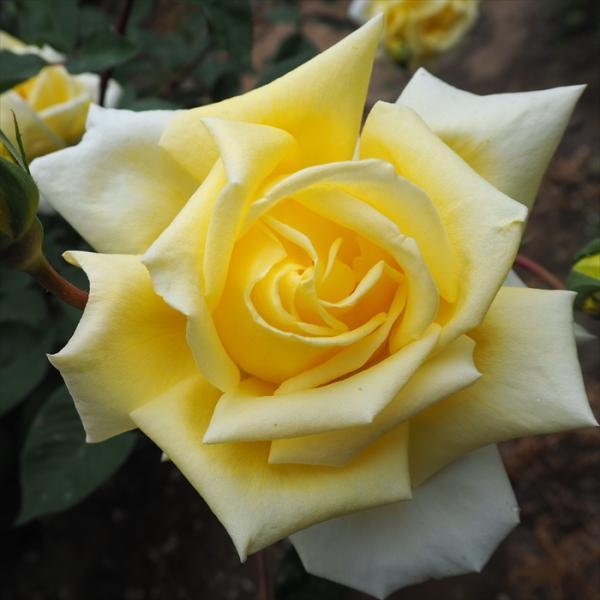 予約販売 バラ苗 バラ大苗 荒城の月 つるバラ 四季咲き 薔薇 バラ troe 12月上旬以降発送