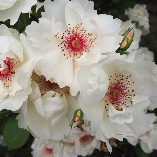予約販売 バラ苗 バラ大苗 ジャクリーヌ デュ プレイ つるバラ 四季咲き 薔薇 バラ troe 12月上旬以降発送