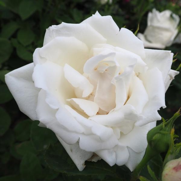 予約販売 バラ苗 バラ大苗 白不二 フラウ カール ドルシュキ つるバラ 薔薇 バラ troe 12月上旬以降発送