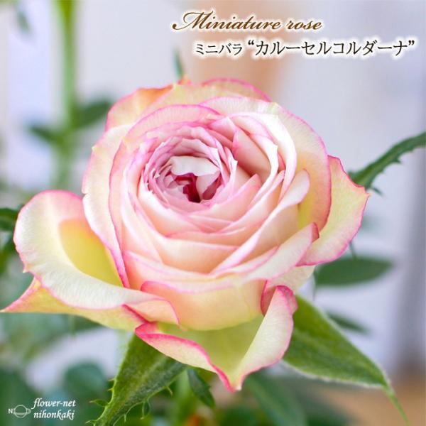 予約販売 ミニバラ カルーセルコルダーナ 3号ポット バラ 薔薇 バラ苗 苗 mnu 10月下旬以降発送