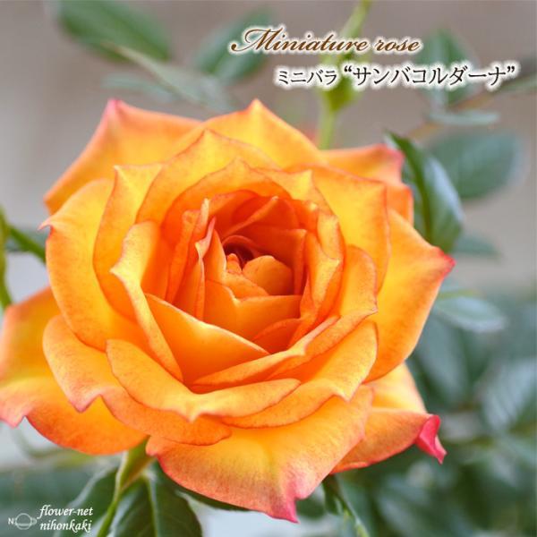 予約販売 ミニバラ サンバコルダーナ 3号ポット バラ 薔薇 バラ苗 苗 mnu 10月下旬以降発送