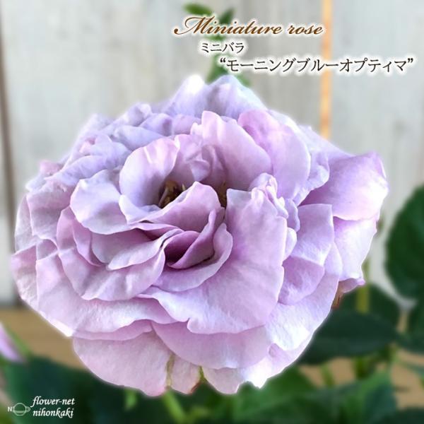 予約販売 ミニバラ モーニングブルーオプティマ 3号ポット バラ 薔薇 バラ苗 苗 mnu 10月下旬以降発送