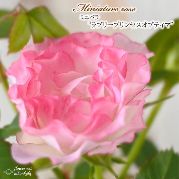 予約販売 ミニバラ ラブリープリンセスオプティマ 3号ポット バラ 薔薇 バラ苗 苗 mnu 10月下旬以降発送
