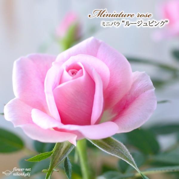 予約販売 ミニバラ ルージュピンク 3号ポット バラ 薔薇 バラ苗 苗 mnu 10月下旬以降発送