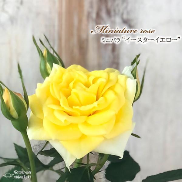 予約販売 ミニバラ イースターイエロー 3号ポット バラ 薔薇 バラ苗 苗 bry 10月下旬以降発送