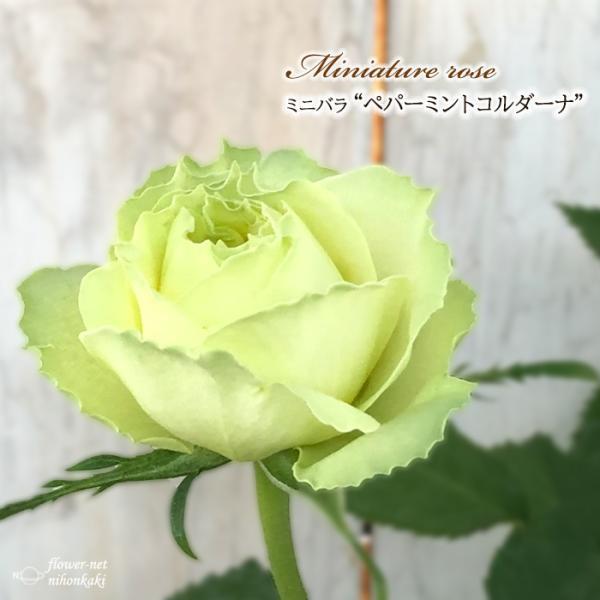 予約販売 ミニバラ ペパーミントコルダーナ 3号ポット バラ 薔薇 バラ苗 苗 bry 10月下旬以降発送
