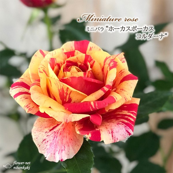 予約販売 ミニバラ ホーカスポーカスコルダーナ 3号ポット バラ 薔薇 バラ苗 苗 bry 10月下旬以降発送