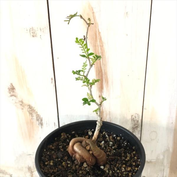 多肉植物 caオペルクリカリア パキプス 実生 4号鉢 0712-009 多肉植物 コーデックス 現品販売