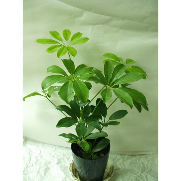 ホンコンカポック 観葉植物 鉢植え 3号鉢