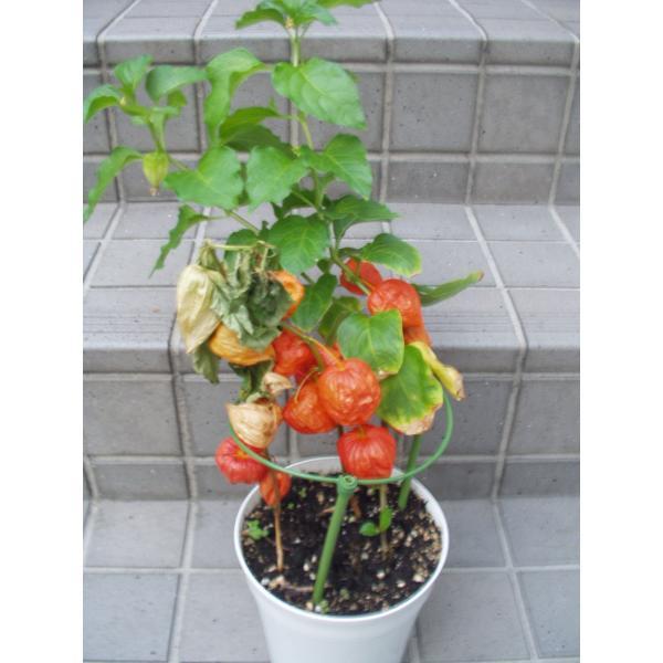 ホオズキ 鉢植え 5号鉢 処分品 送料値引きあり