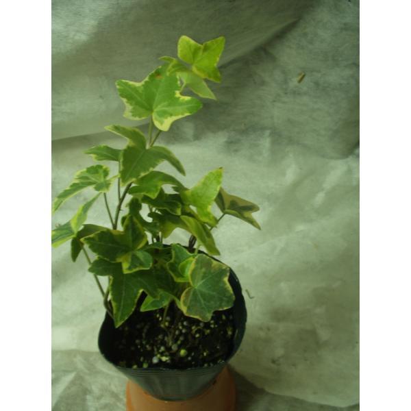 アイビー ヘデラ 観葉植物 ポット苗 送料値下げあり
