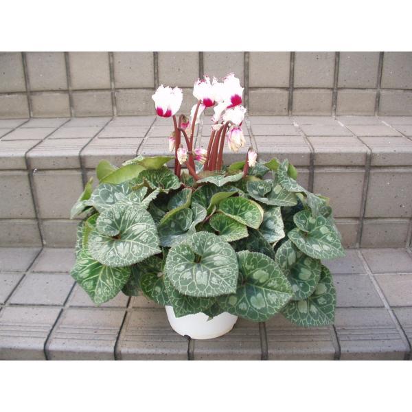シクラメン ビクトリア系 花鉢 鉢植え 5号鉢 送料値引きあり