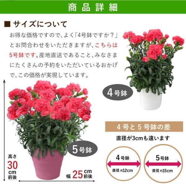 母の日2019 ギフト花 母の日カーネーション スタンダード 鉢植え 5号鉢 産地直送 送料無料|flower|04