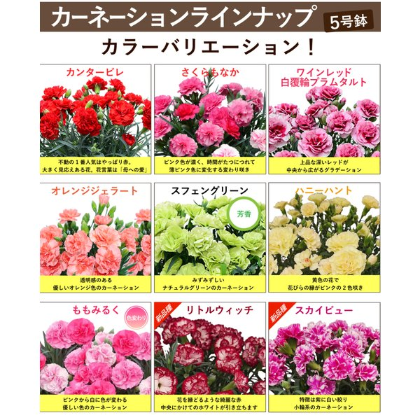 母の日2019 ギフト花 母の日カーネーション スタンダード 鉢植え 5号鉢 産地直送 送料無料|flower|05