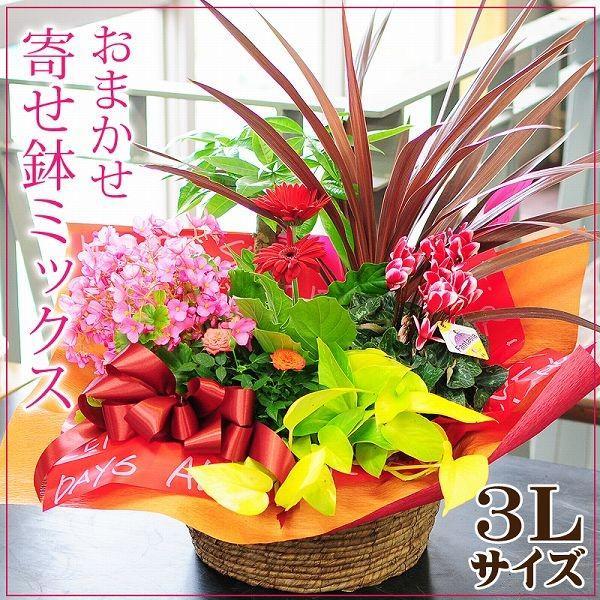 お祝い 鉢植え