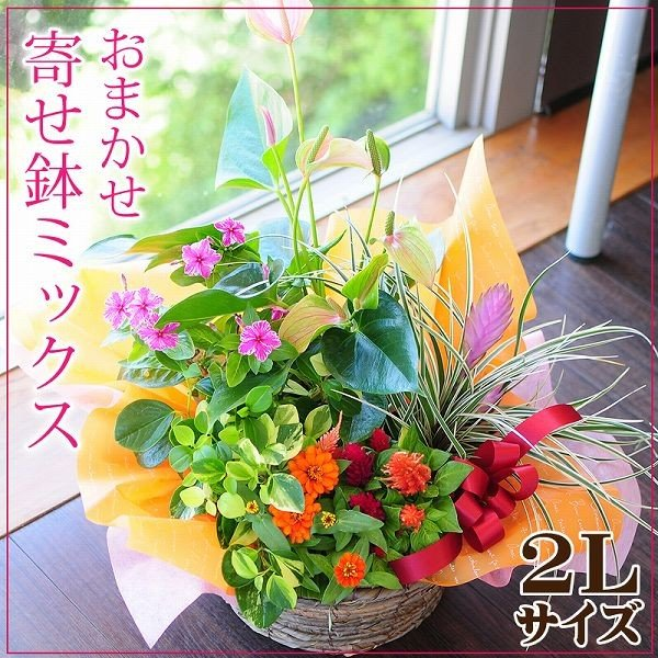 誕生日の花 鉢植え 花 ギフト おまかせ寄せ鉢ミックス 2Lサイズ お祝い 花 おしゃれ ギフト 翌日配達|flower