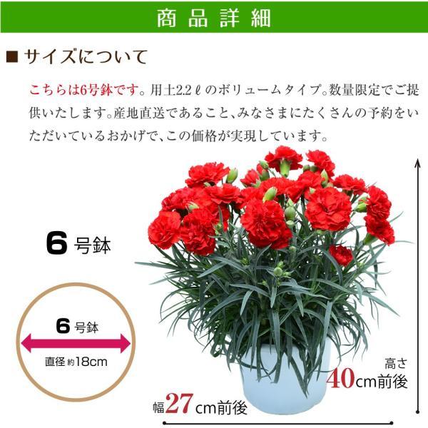 花鉢植え ギフト カーネーション 大きい6号鉢 プレゼント 産地直送 カーネーション 2019 送料無料 flower 05