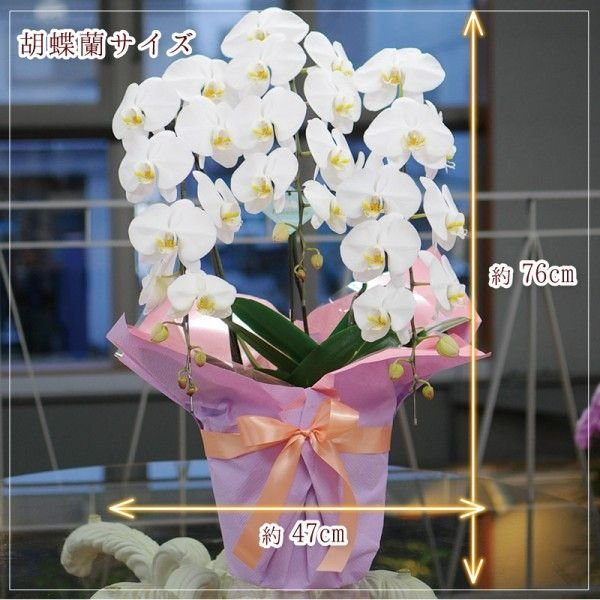 開店祝い胡蝶蘭 3本立 白 洋ラン 鉢植え 花 ギフト 移転祝い 開院祝い|flower|02