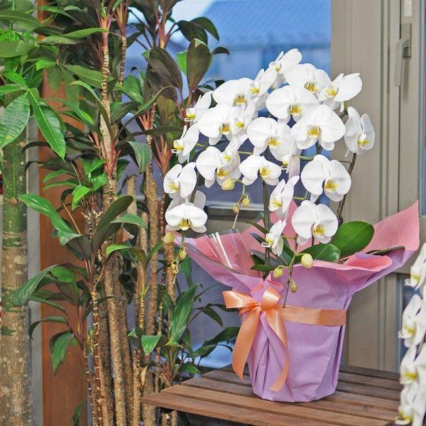 開店祝い胡蝶蘭 3本立 白 洋ラン 鉢植え 花 ギフト 移転祝い 開院祝い|flower|03